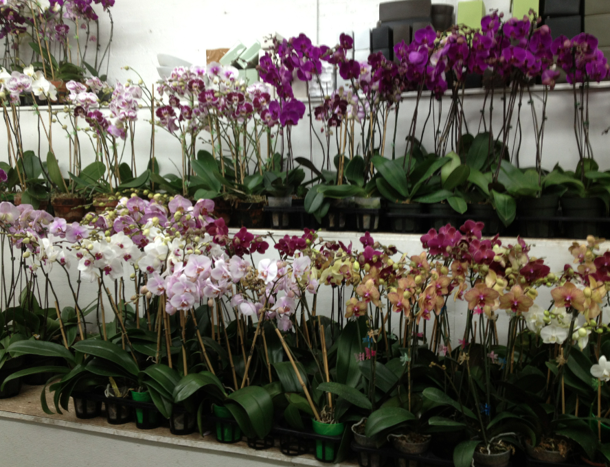 aisles of orchids