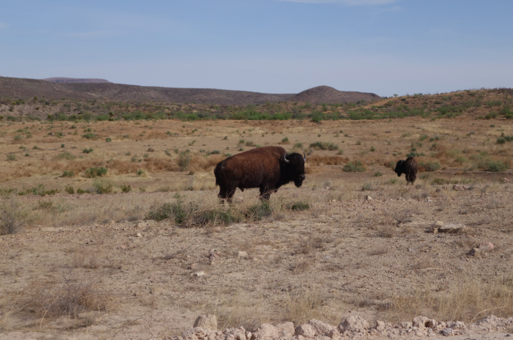 On Saturday, I tried to go running, but then I encountered 6 buffalos. Buffalo chasing after me = not worth the risk.