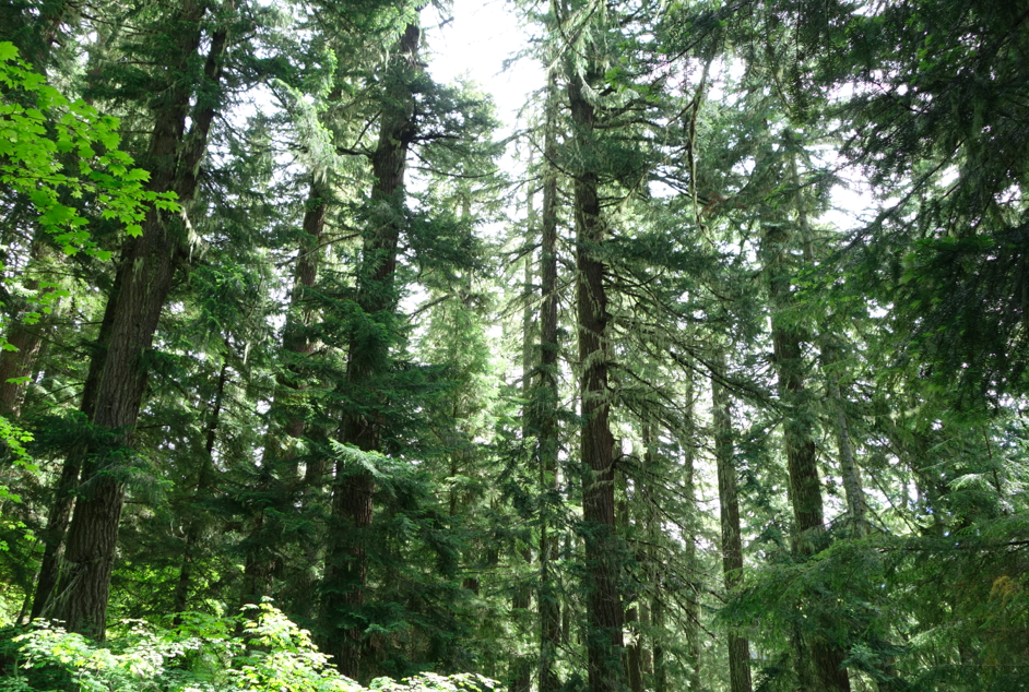 Oregon trees. The very best.
