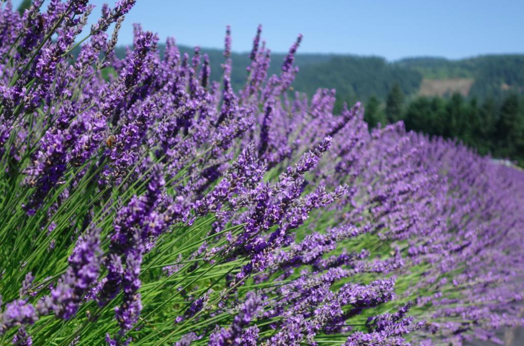 Purple lavender haze.