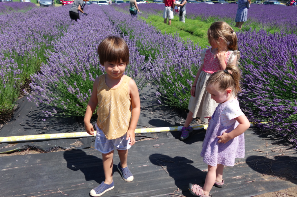 Cutting the lavender to make dried lavender saches at home (stay tuned for a DIY project)