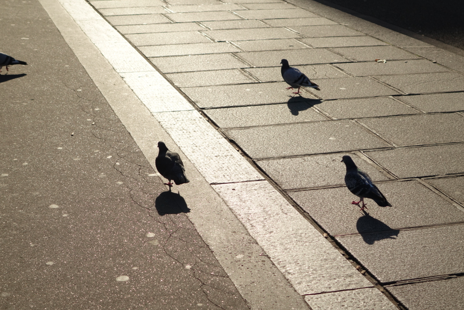 Yep, pigeons in paris are more glamorous, too.