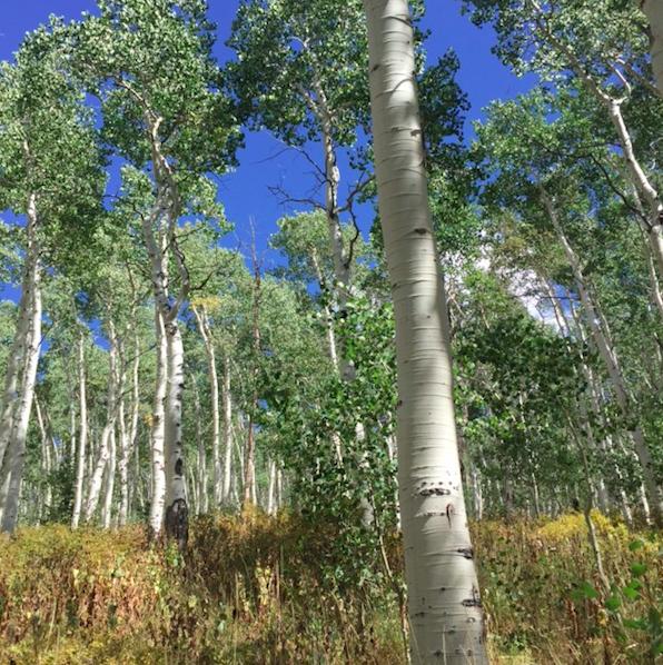 Aspen trees in Deer Valley #NotMeta